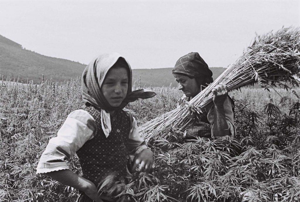 Kendert szedő asszony és lány. (Arany Adalbert László zobor vidéki néprajzi fotói az 1940-es évekből. Lipcsey Gyula hagyatéka.)